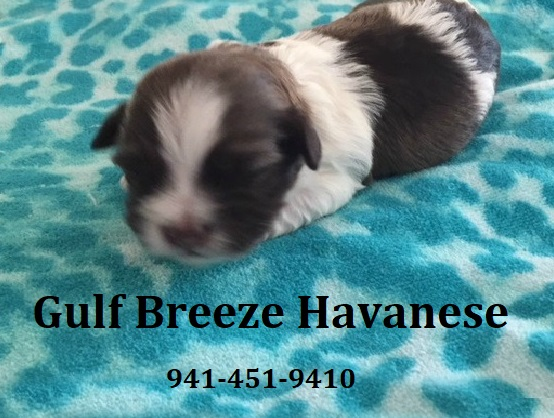 Gulf Breeze Havanese